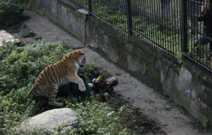 Tiger attacked zookeeper 2