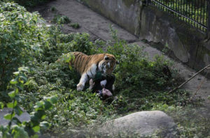Tiger attacked zookeeper