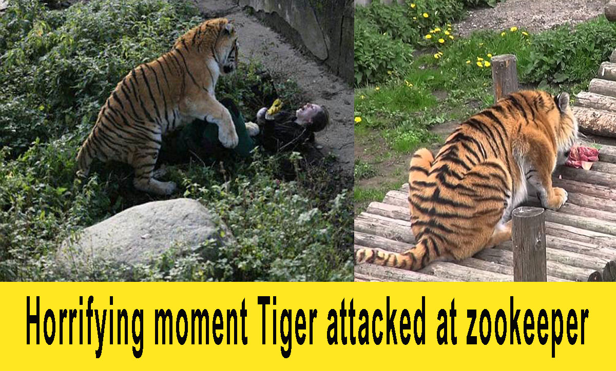 Tiger attacked zookeeper 4